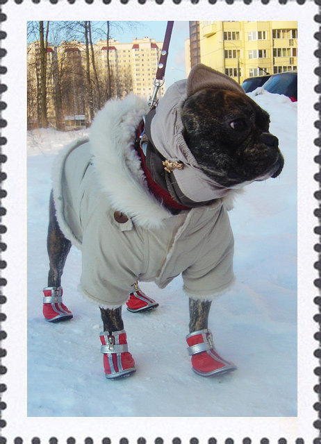 Одежда для собак выкройки для французского бульдога